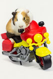 在摩托车的啮齿目动物。 图库摄影