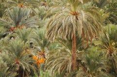 在摩洛哥的绿洲的日期 图库摄影