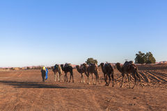 在撒哈拉大沙漠,摩洛哥的骆驼有蓬卡车 免版税库存照片