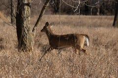在撤退的母鹿 免版税库存照片