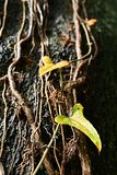 在攀缘藤本的叶子 免版税图库摄影