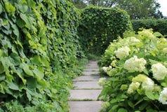在支持和八仙花属灌木的马兜铃属macrophylla在夏天从事园艺 免版税库存照片