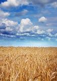 在收割期的黄色麦子 库存图片