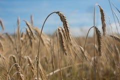 在收获之前的8月麦子 免版税库存图片