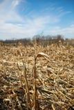 在收获以后的玉米田在晴天 免版税库存图片
