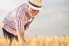 在收获前的满意的灰发的农艺师或农夫审查的麦子植物 免版税图库摄影