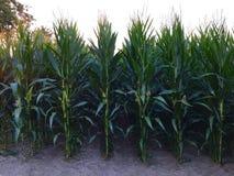 在收获前的玉米领域 图库摄影