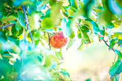 在收获前的苹果树果树园 免版税库存照片