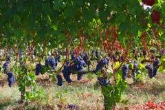 在收获前的葡萄园 免版税图库摄影