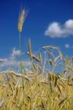 在收获前的麦子 免版税库存图片
