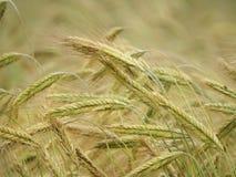 在收获前的2个冲程大麦五谷头 免版税图库摄影