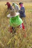 在收获季节期间,一个小组妇女农夫在东北泰国用手收获米, 库存照片