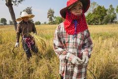 在收获季节期间,一个小组妇女农夫在东北泰国用手收获米, 免版税库存图片