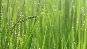 在收获季节的稻田 黄色水稻领域特写镜头与绿色叶子的在秋天 股票录像