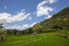 在收获季节的露台的米领域在巴厘岛,印度尼西亚 库存照片