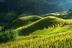 在收获季节的露台的米领域在Mu Cang柴,越南 Mam Xoi普遍的旅行目的地 免版税库存照片