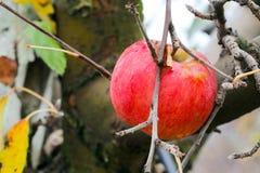 在收获忘记的苹果计算机,苹果树在11月 免版税库存照片