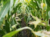 在收获成熟玉米棒子前的麦地在后边行 细节视图被淹没在玉米之间 免版税图库摄影