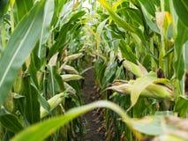 在收获成熟玉米棒子前的麦地在后边行 细节视图被淹没在玉米之间 免版税库存照片