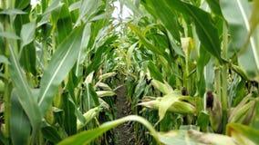 在收获成熟玉米棒子前的麦地在后边行 细节视图被淹没在玉米之间 股票录像