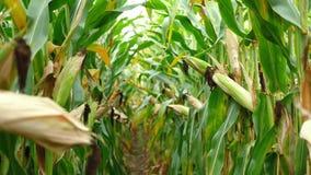 在收获成熟玉米棒子前的麦地在后边行 细节视图被淹没在玉米之间 股票视频