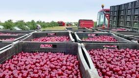 在收获期间的樱桃种植园 股票录像