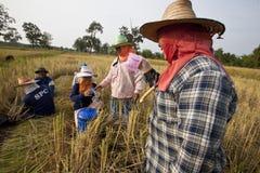 在收获期间,一个小组泰国农夫在米领域的休假在东北泰国 库存照片