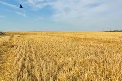在收获的麦子,接近以后的亩茬地 图库摄影