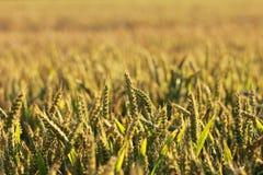 在收获附近成熟在领域的麦子 库存图片