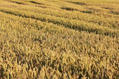 在收获附近成熟麦田 免版税库存图片