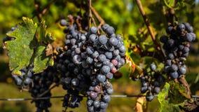 在收获,红葡萄酒,法国前的成熟葡萄 图库摄影