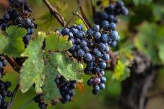 在收获,红葡萄酒,法国前的成熟葡萄 免版税库存照片