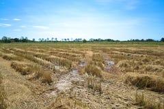 在收获以后的稻田 库存照片
