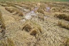 在收获以后的稻田 免版税库存照片