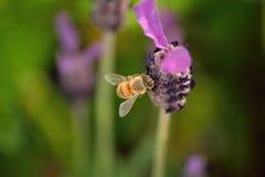 在收集花粉的自然蜜蜂的和谐 库存图片