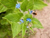 在收集花粉的蜂看的边从一朵小蓝色花wi 库存图片
