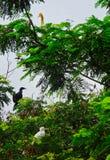 在放松在一阴天的树的美洲蛇鸟和牛背鹭 免版税库存图片