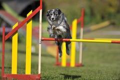 在敏捷性竞争的博德牧羊犬 库存照片