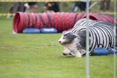 在敏捷性竞争的嬉戏的有胡子的大牧羊犬 图库摄影