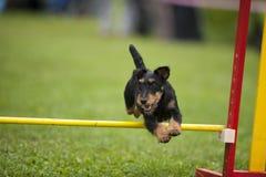 在敏捷性竞争的德国狩猎狗 库存照片