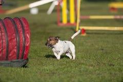 在敏捷性竞争的杰克罗素狗 图库摄影