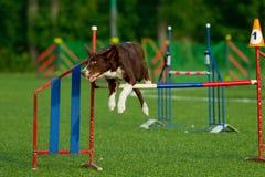 在敏捷性竞争的狗 免版税库存照片