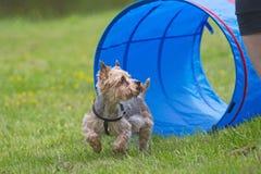 在敏捷性竞争的约克夏狗。 图库摄影