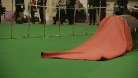 在敏捷性竞争,执行把戏,守纪的训练的宠物的长发狗 影视素材