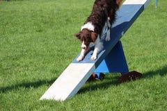 在敏捷性设备的一条非常逗人喜爱的蹦跳的人十字架大牧羊犬狗 库存图片