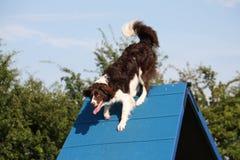 在敏捷性设备的一条非常逗人喜爱的蹦跳的人十字架大牧羊犬狗 库存照片