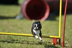 在敏捷性跃迁的逗人喜爱的波士顿狗 免版税库存照片