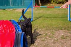 在敏捷性路线的皇家长卷毛狗 免版税图库摄影