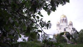 在教会背景的樱花  储蓄英尺长度 白花春天绽放在绿色灌木的在背景  股票录像