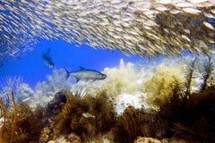 在教育大眼鲷大量下- Megalops atlanticus,竹荚鱼类crumenophthalmus的大海鲢 库存图片